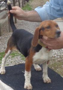 Johnstons Beagle Farm Akc Registered Beagles