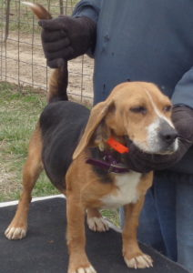 Johnston S Beagle Farm Akc Registered Beagles