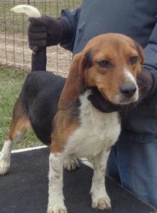 Johnston S Beagle Farm Akc Registered Beagles